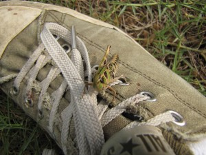 A one legged grasshopper sitting on my shoe.